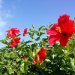 ハイビスカス(市の花)